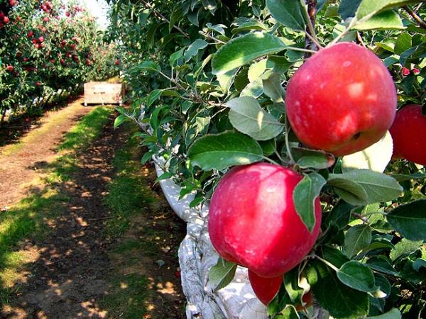 Early Fuji apples about to be picked at Chiawana Orchards near Pasco, Washington. Photo by Anna King