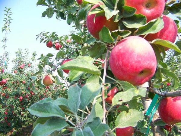 Washington state farmers worry that many apples might be left on the trees this year. Photo by Anna King