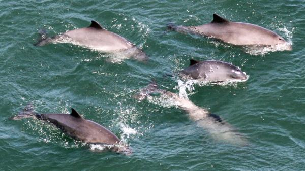 A group of harbor porpoises in San Francisco Bay, photographed from the Golden Gate Bridge. Harbor porpoises haven't been seen in the bay since the 1930s. Researchers believe World War II activity may have contributed to their disappearance. The Navy strung a seven-mile underwater net across the mouth of the bay to keep out enemy submarines.