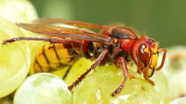 The European hornet, or <em>vespa crabro</em>, helps make wine by kickstarting the fermentation process while the grapes are still on the vine.