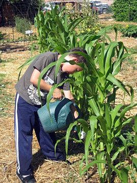 Watering the corn.