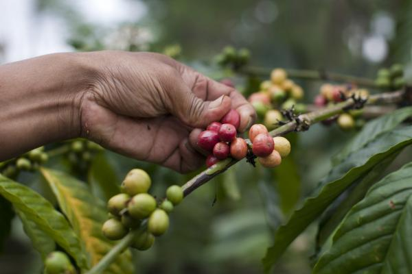 "A coffee ""bean"" is actually the seed of a cherry-sized fruit that grows on the coffee plant. Civets eat the whole fruit. The seed is separated from the pulp in the digestive process."