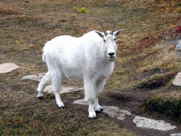 Multiple hiking parties reported feeling threatened by the resident mountain goats in Olympic National Forest. Photo by James Cummins/ WDFW.