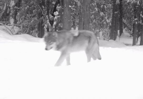 A wolf in the Colville National Forest, west of the Columbia River, a few miles from the Canadian border on the 29th of January, 2012. Image via WDFW