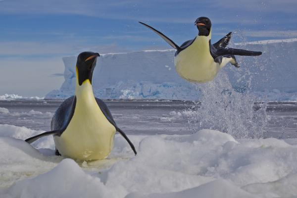 <em>Winner, Behavior: Birds — </em>Emperor penguins jump from the water to escape predatory leopard seals on the edge of the Ross Sea in Antarctica. The birds can skyrocket up to two meters out of the water. The penguins' survival is vital to that of their 2-month-old chicks, hungrily waiting some 10 kilometers away.