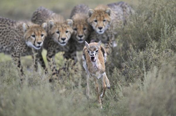 <em>Winner, Behavior Mammals</em> — Cheetah cubs engage in hunting practice with a wounded Thomson's gazelle calf in Serengeti National Park, Tanzania.