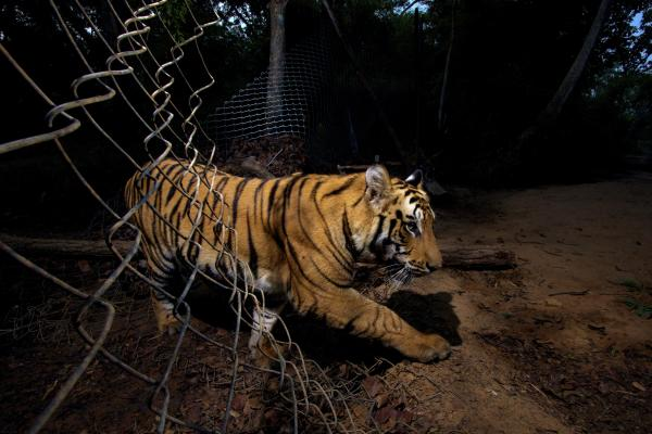 <em>Winner, The Wildlife Photojournalist of the Year (part of a six-picture story)</em> — A young Bengal tiger triggered a camera and photographed itself as it crossed through a fence at Bandhavgarh National Park in Madhya Pradesh, India. Some parts of the park have insufficient prey for the big cats, so park officials have deliberately made holes in the fence so they can venture out for food.
