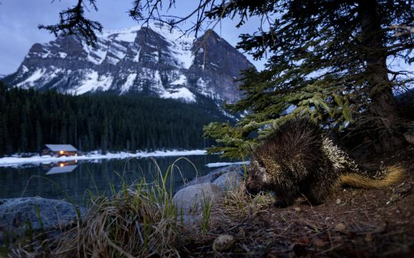 "<em>Winner, Eric Hosking Award (part of a larger portfolio)</em> — A nocturnal porcupine is photographed hours before dawn in Canada's Banff National Park. ""I had to use a slow shutter speed and maximum aperture opening, along with a narrow flash beam,"" said the photographer."