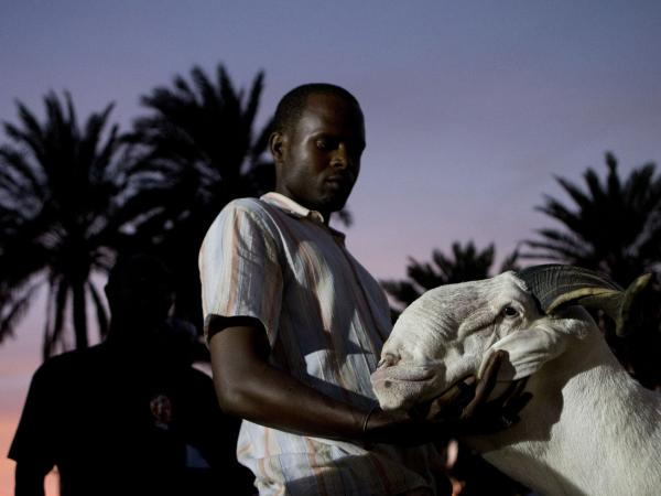 Breeder Pape Dieng massages the head of his ram, Salmane, as judges decide the results of the national final of the televised sheep reality competition <em>Khar Bii</em>, in Dakar, Senegal, on Saturday. Salmane finished third.