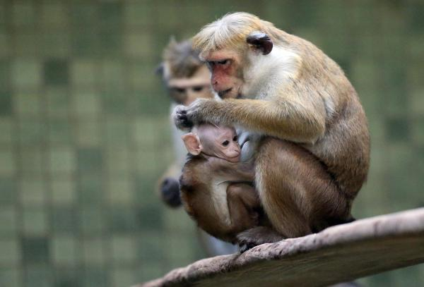 A mother toque macaque, which is a kind of monkey from Ceylon, holds her male baby at Zoo Berlin.