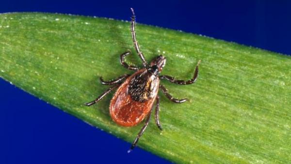 Deer ticks like this one can spread a parasite that causes babesiosis. And infected people can spread it through blood donations.