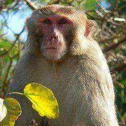 "The ""mystery monkey,"" now known as Cornelius, while he was on the loose in 2010."