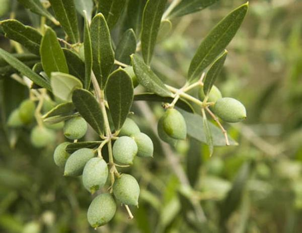 The Durant family started in the wine grape business in Yamhill County, Oregon but are now growing increasing acres of olives – a relatively new crop to the Northwest. Photo courtesy of the Durant Family.