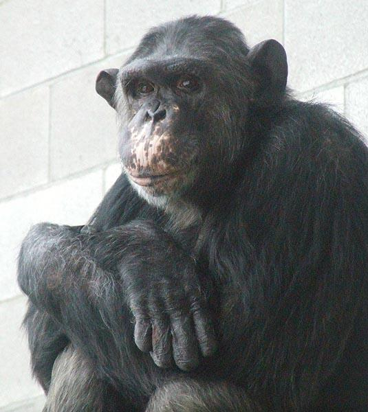Veterinarians and pathologists at the UW Primate Center performed an autopsy on Monday on Dar, pictured here earlier in his life at CWU. Photo courtesy of Friends of Washoe