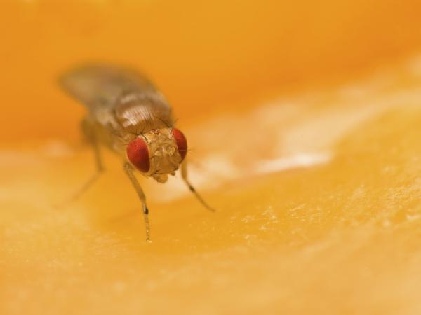 Now we know why we'll never see a common fruit fly (<em>Drosophila melanogaster</em>) sitting on a beet.