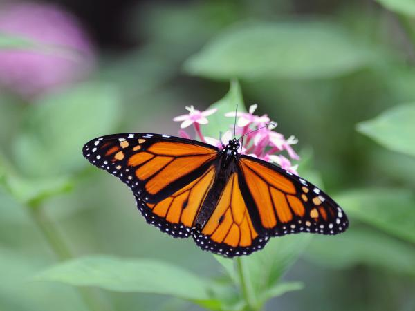 A Monarch butterfly (Danaus plexippus) in Costa Rica