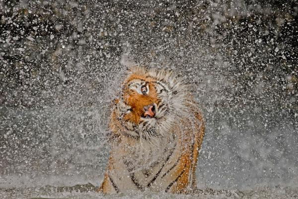 """The subject's name is Busaba, a well-cared-for Indochinese Tigress, whose home is at Khao Kheow Open Zoo, Thailand."""