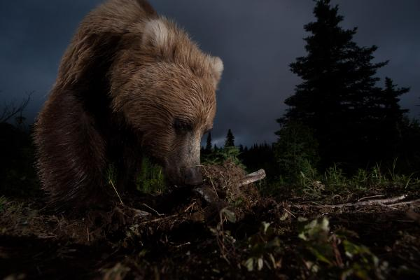 """This photo of a wild, Alaskan, brown bear digging on a game trail was taken with a homemade motion-controlled triggering device hooked up to my DSLR."""