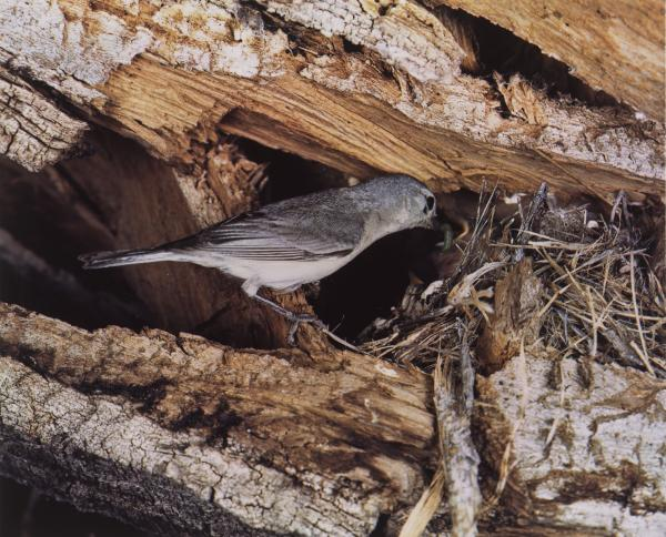 <em>Lucy's Warbler, Arizona, April 1941 [Vermivora luciae]</em>