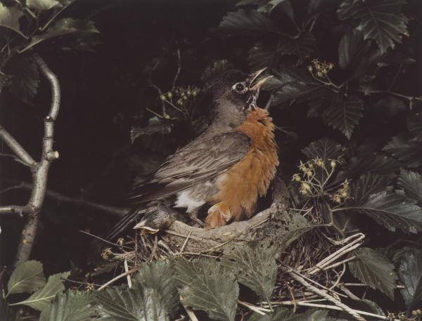 <em>Robin, Illinois, June 1941 [Turdus migratorius]</em>