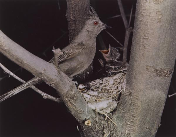 <em>Phainopepla, Female, Arizona, April 1941</em>