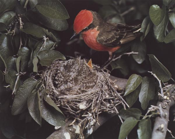 <em>Vermilion Flycatcher, Arizona, May 1941 [Pyrocephalus rubinus]</em>