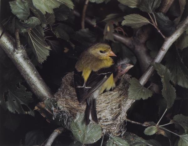<em>Eastern Goldfinch, Female, Illinois, August 5, 1941</em>