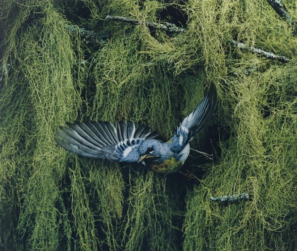 <em>Parula Warbler, Male, Flying, Great Spruce Head Island, Maine, June 22, 1968 [Parula americana]</em>