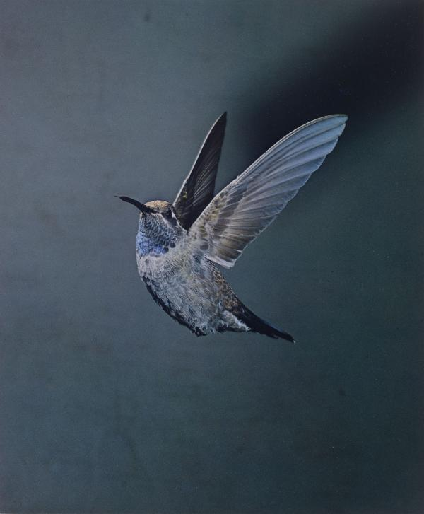 <em>Blue-Throated Hummingbird, Chiricahua Mountains, Arizona, May 1959</em>
