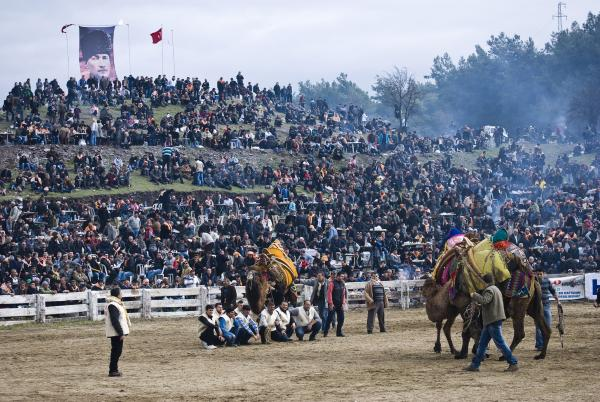 Two camels wrestle in front of a raucous crowd of nearly 10,000 spectators at Selcuk's Camel Wrestling Championship on January 20, 2013.