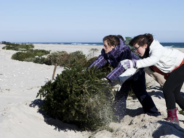 Alexandra Jones-Twaddell and Malley Chertkov add a Christmas tree to the growing line in Island Beach State Park. The two high-schoolers joined fellow students from the Peddie School to help rebuild dunes that had been flattened by Superstorm Sandy.