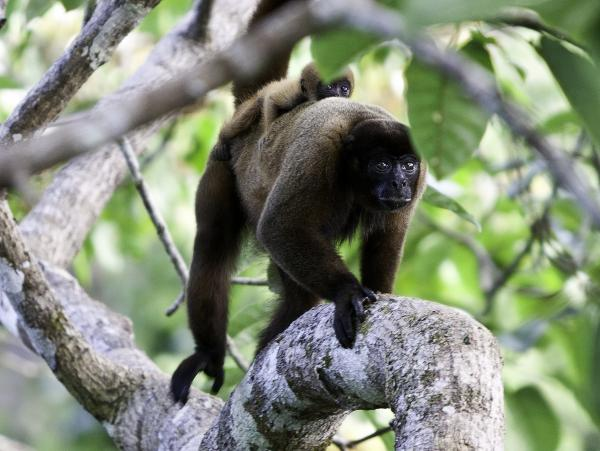 A brown woolly monkey and its baby in the Yasuni National Park.