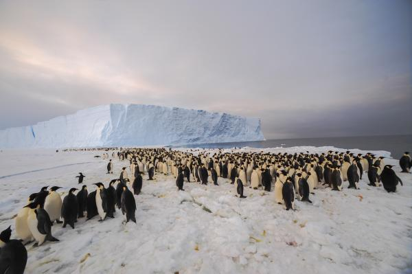 The colony of emperor penguins was first discovered in satellite imagery by scientists from the British Antarctic Survey in 2009.