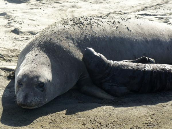 A female northern elephant seal and pup at Ano Nuevo State Reserve near Santa Cruz, Calif.