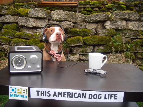 """Sparky listens to today's theme of<em> This American</em> (Dog) <em>Life</em> on his NPR station KOPB in Portland, Oregon."""