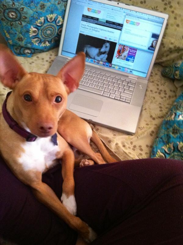 """Abutiu Rex Canus, a Basenji-MinPin mix adopted from City Dogs Rescue, enjoys a lazy Saturday morning listening to <em>The Animal House</em> on WAMU in Washington, D.C. His master, Sally Maier of Eckington, D.C., loves <em>The Kojo Nnamdi Show</em> and <em>On The Media</em>."""