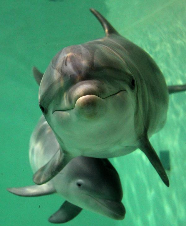 Baby bottlenose dolphin Doerte and her mother, Delphi, swim through their basin at the zoo in Duisburg, western Germany, in 2011.