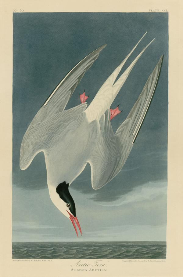 "The ""Arctic Tern"" from John James Audobon's <em>Birds of America</em> makes a profound impression on Doug, the protagonist of <em>Okay for Now</em>."