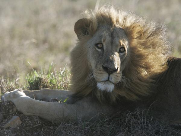 There are just 2,000 lions left in Kenya, according to estimates. Their population is dwindling in part because they are killed in retaliation for attacks on livestock. Richard Turere's invention could help save the lions.