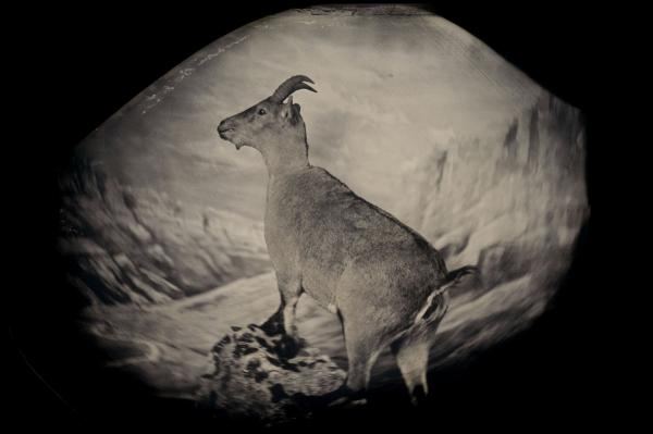The bucardo, or Pyrenean ibex, lived high in the Pyrenees until its extinction in 2000. Three years later researchers attempted to clone Celia, the last bucardo. The clone died minutes after birth. <em>Taxidermic specimen, Regional Government of Aragon, Spain</em>