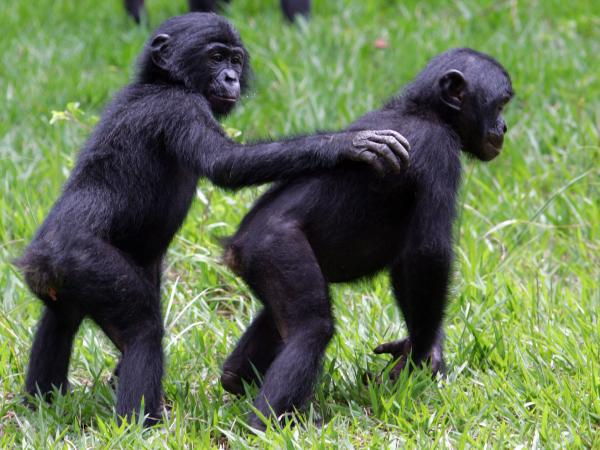 "Bonobos at the <a href=""http://www.friendsofbonobos.org/"">Lola ya Bonobo</a> sanctuary near Kinshasa in the Democratic Republic of Congo in 2006."