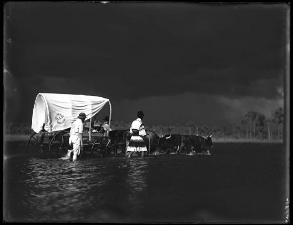 Three Seminole men accompany an ox-drawn cart through the Everglades of south Florida.