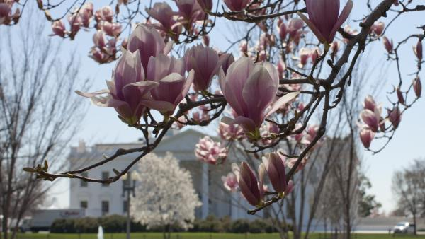 Blooming magnolia trees are seen along Pennsylvania Avenue in front of the White House on Saturday. This week, President Obama is speaking out on gun control, and will release his proposal for the nation's budget.
