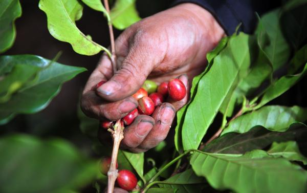A worker collects coffee beans at a farm in Cuatro Esquinas on the outskirts of Diriamba, some 32 km south of Managua. Central America is one of main producers of the best Arabica Coffee.