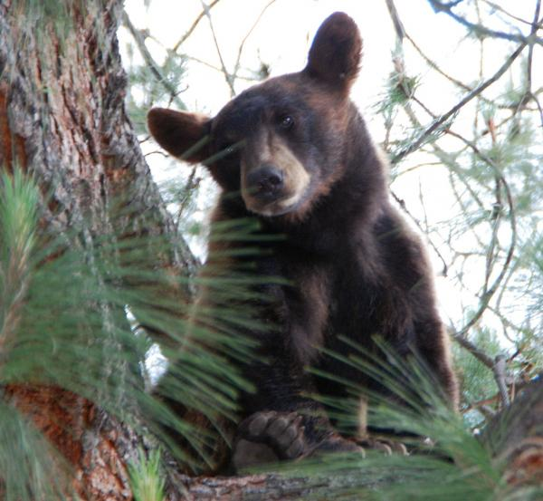 """Bear Woman"" Lynne Gravier turned her ranch home into something of a luxury resort for more than a dozen bears, like this young California black bear, seen here in a tree in Los Angeles last year."