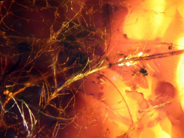 A trove of dinosaur protofeathers and more modern bird feathers, preserved in amber from a Late Cretaceous Canadian site, offers researchers a unique chance to examine the structure, function and even color of the feathers adorning dinosaurs and early birds 70 to 85 million years ago.