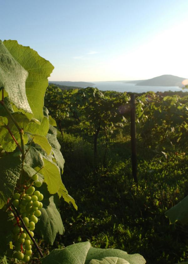 <p>Grapes hang in a vineyard overlooking Canandaigua Lake in the Finger Lakes region of upstate New York. </p>