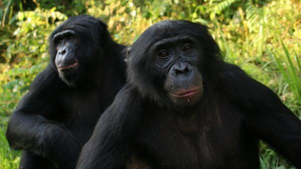 "Bonobos at the <a href=""http://friendsofbonobos.org/sanctuary.htm"">Lola ya Bonobo</a> sanctuary in the Democratic Republic of Congo."