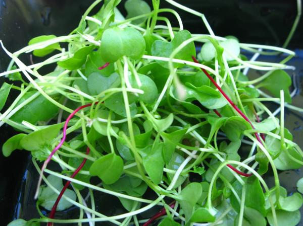 Kale and beet microgreens.