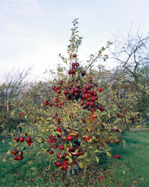 <em>Apple Tree, 2011:</em> Modern apple growers use apple varieties that are grafted onto Dwarfing Rootstocks. Developed at a research station in the U.K., these ... trees need less water and less space than traditional apple trees, which makes high density planting possible. The fruits are more accessible and easier to pick, because the trees are smaller.
